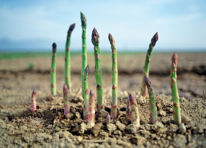 Asparagus spears growing vegetable patch
