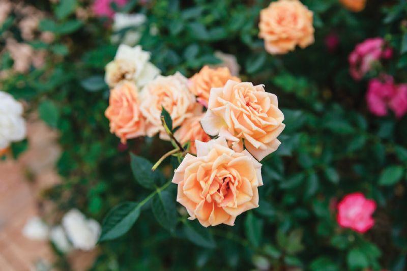 Rambling roses gardening